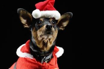 Miniature Pinscher Behavior & Barking