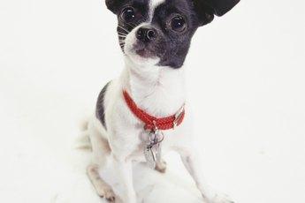 Bathroom Habits of Chihuahuas