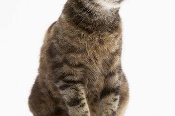 How Do Indoor Cats Get Roundworm?
