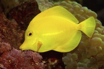 Yellow tangs are saltwater fish who prefer to be with other fish.