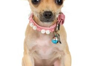 A Chihuahua without a sweater can't retain his body heat in cool climates.