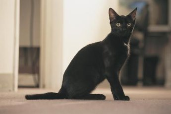 "Bombays try to evoke the look of a ""mini panther."""