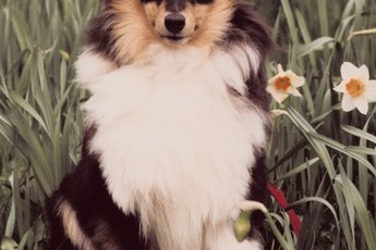 Tips on Grooming a Sheltie