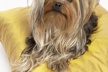 How to Groom a Shorkie