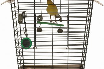 Canaries As a Pet