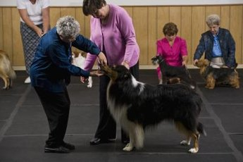 A dog with a scissor bite is cut out for the show ring.