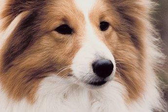 Seborrheic Skin Disorders in Shetland Sheepdogs