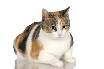 What Percentage of Calico Cats Are Male?
