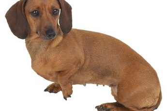 A dachshund's long back makes him prone to degenerative disc disease.