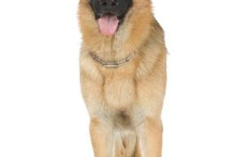 German shepherds are predisposed to developing hip dysplasia.