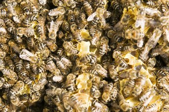 Organic Bee Pollen Benefits