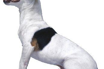 How to Stop Jack Russells From Shedding