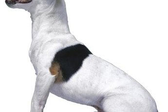 For a small dog, your Jack Russell can leave behind a lot of hair.