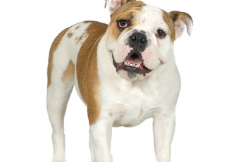Do American Bulldogs Lose Their Hair?