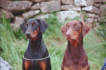 How to Get a Doberman Pinscher to Behave