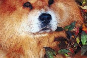 Chow chows have a double-density coat, or two coats.