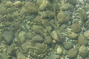 Raising Frontosa Cichlids