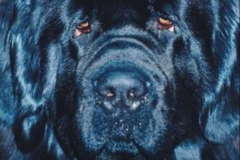 The Newfie is a gentle giant.