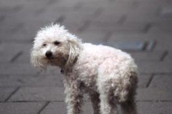 If inflamed skin causes your poodle to scratch incessantly, she's liable to cause a secondary infection.