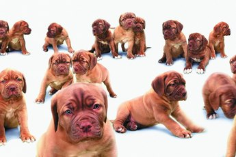 How Long Do Puppies Eat Three Meals a Day?