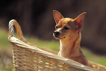Chihuahuas love to chew.