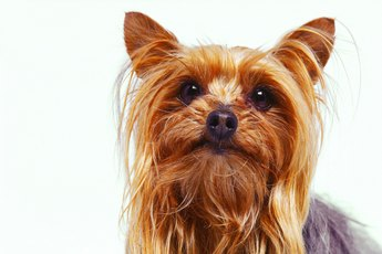 What Fruits Are Healthy for Yorkies?