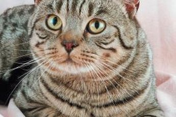 American shorthair cats are known for being patient, loving and affectionate.