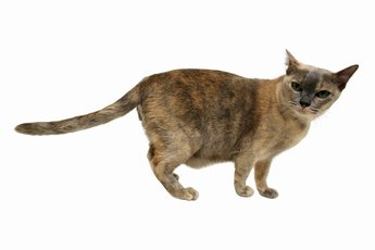 Animal Doctors for Cats With Hyperthyroidism