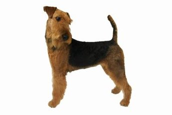 Your Airedale terriers tail won't hold his interest for long.