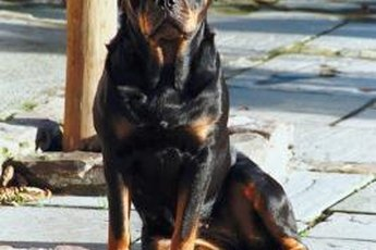 Rottweilers look tough, but sometimes looks are deceiving.