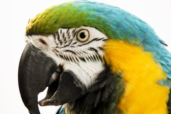 Various Types of Eye Infections in Parrots
