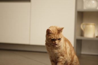 Are Domestic Tiger Tabby Cats Color Blind?