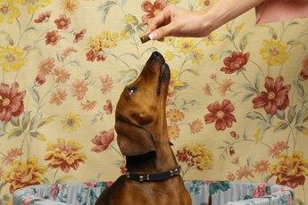 Tricks to Teach Dachshunds