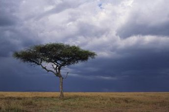Acacia trees are common in warmer parts of Australia, Asia and the Pacific islands.