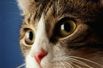 Unequal pupil size in cats is known as anisocoria.