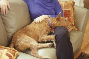 Irish terriers don't require much grooming.