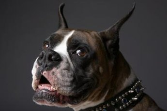 Your beloved boxer's wrinkles are bacteria magnets.