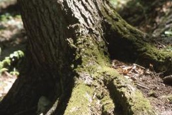 Foundation damage caused by tree roots usually isn't covered by homeowner's insurance.