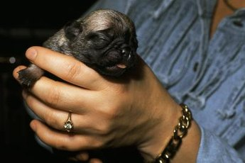 Milk is the key to optimal health in a newborn puppy's life.