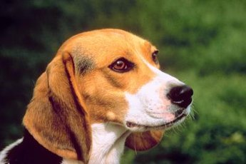 Beagles are medium-sized, short-haired dogs that are not well-equipped for extreme temperatures.