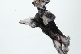 What I Need to Know About Miniature Schnauzers