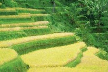 Many gouramis thrive in rice paddies.