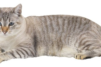 Skin Conditions in Cats Requiring Steroids