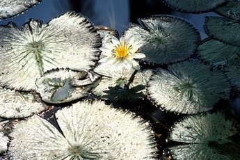 N. stellata comes from Sri Lanka and India.