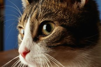 Kitty's sense of smell helps her to compensate for blindness.