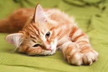 Good Brush for Cat Dandruff