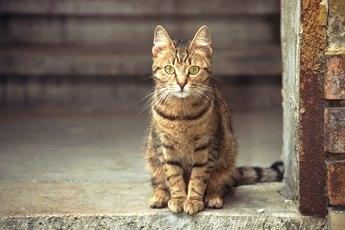 Arthritis Medicines for Cats