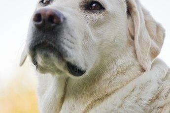 Skin Disorders of Labrador Retreivers