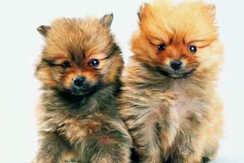 Does Bathing Help a Pomeranian
