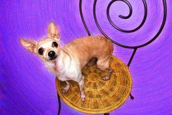 How to Feed Senior Chihuahuas